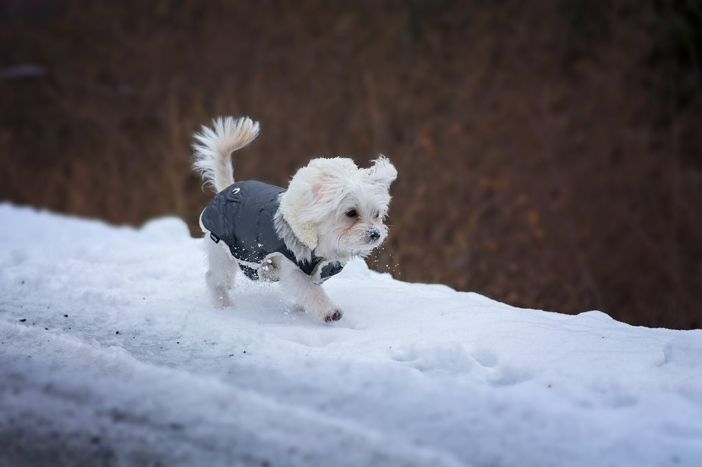 Action Petz Blog Dogs Cold Weather Small Dog with Coat in the snow