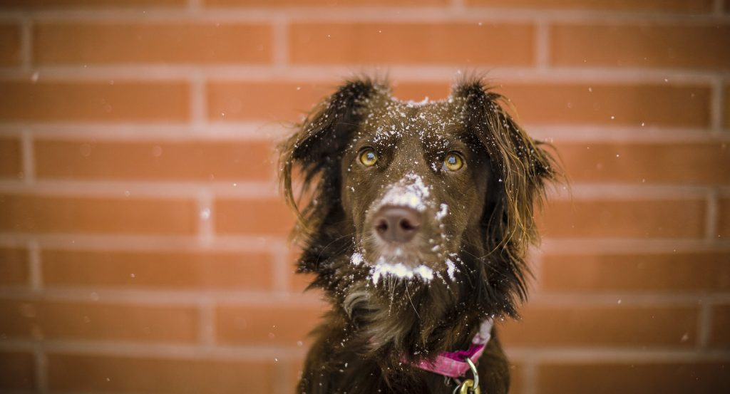 Action Petz Blog Cold Weather Dog With Snow on face