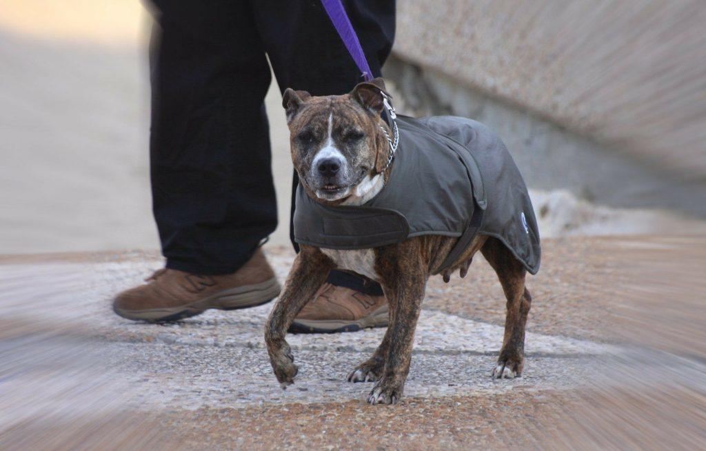 Action Petz Blog Dogs Cold Weather Staffie Wearing a coat