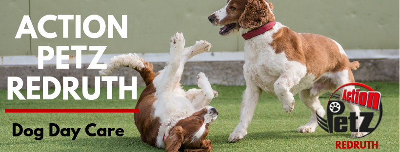 Action Petz Redruth Dog Day Care Spaniels Playing Puppies