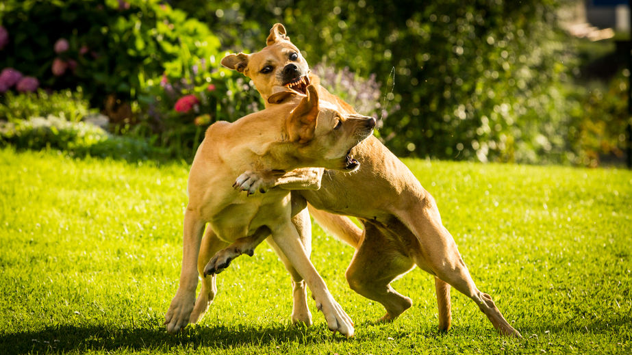 view of labrador dogs fighting with each other